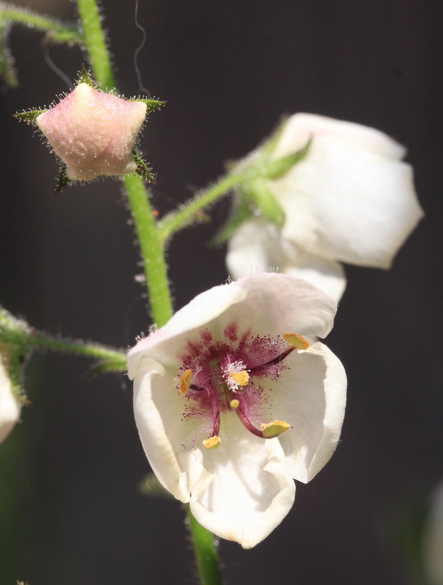 Mottenkruid, detail bloem