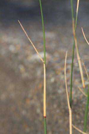 Detail van bladschede van Plat beemdgras