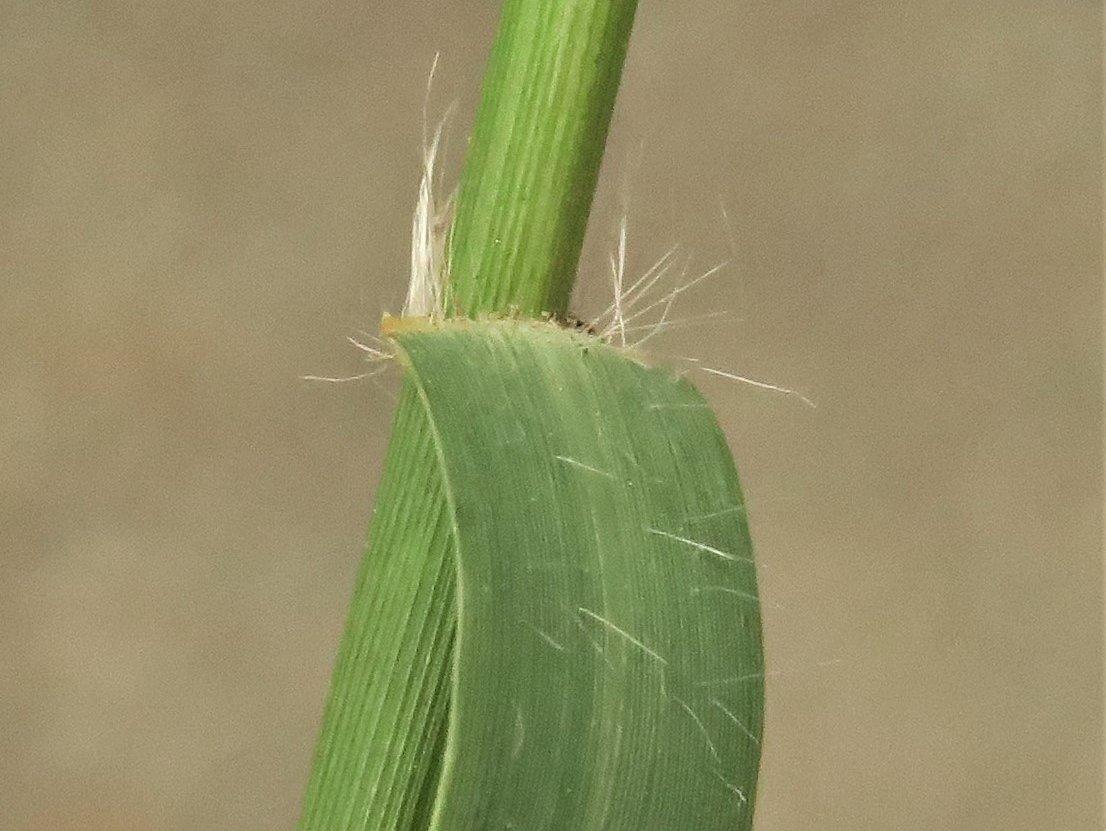 Plukjes haren aan de bladvoet van Handjesgras