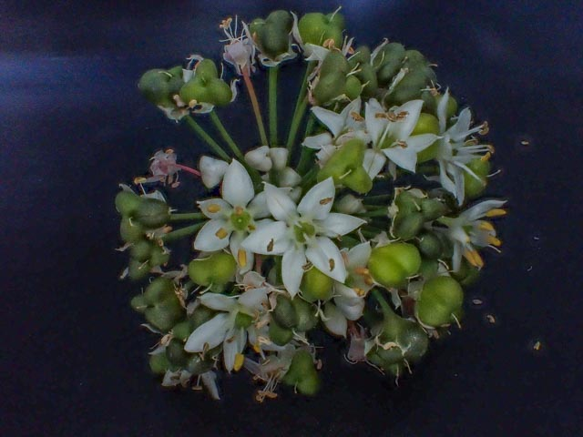 chinese bieslook bloemen
